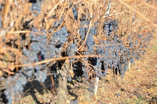 Cepas de Tinta de Toro sin hojas y con uvas