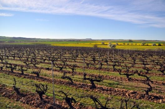 """Paisaje primaveral en nuestro viñedo """"El Tomillar"""" en Casaseca de las Chanas"""